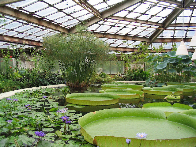 Nenúfares gigantes Jardín Botánico de San Petersburgo