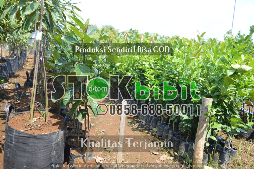 Jenis-jenis Buah Durian      Berkwalitas     berkualitas