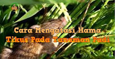 Cara Pengendalian Atau Pencegahan Hama Tikus Pada Tanaman Padi