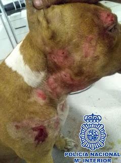 Detenidos cinco organizadores de peleas de perros, así quedaban