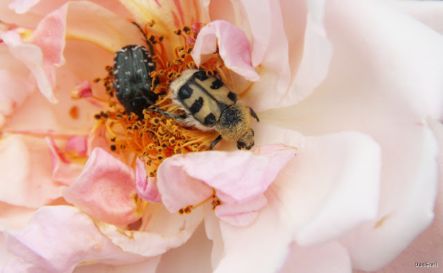 Trichie et drap mortuaire dans une rose
