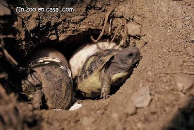 Tortugas mediterráneas naciendo de forma natural