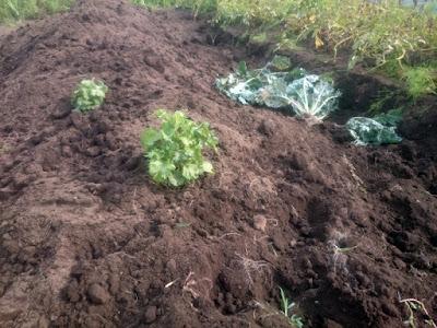 キタアカリ収穫後。大きめの株の青シソはそのまま残しました。