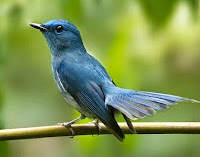 Jantan Burung Tledekan/Selendang Biru