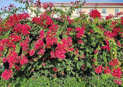 Flowering Bougainvillea bush on downtown roadisde