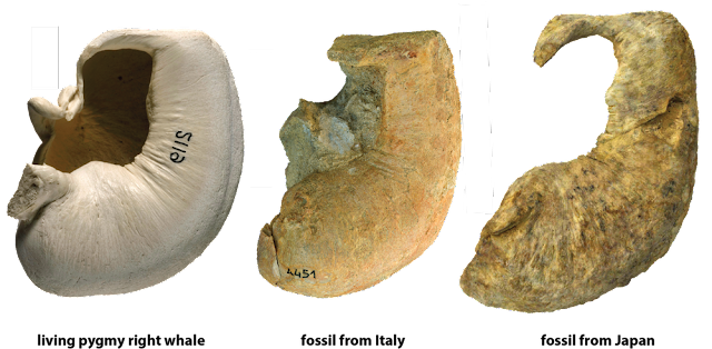 Northern exposure: fossils of a southern whale found for the first time in the north