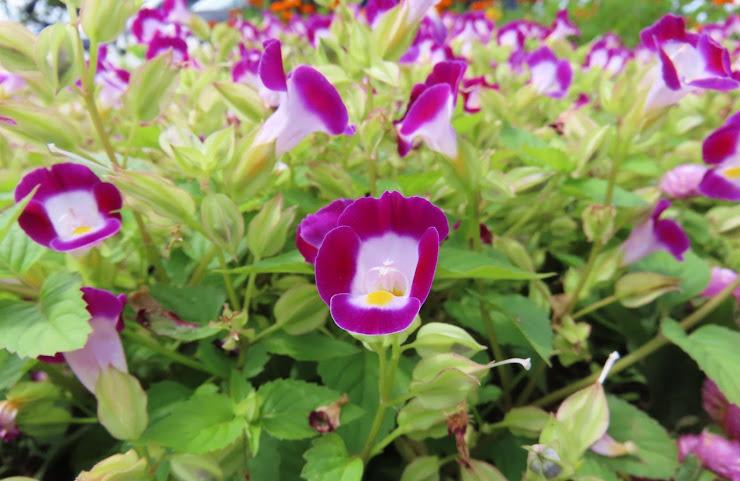 花弁が紫色のハナウリクサ(トレニア)