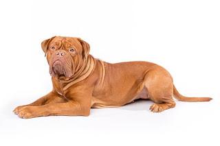 Anjing Ras Dogue de Bordeaux