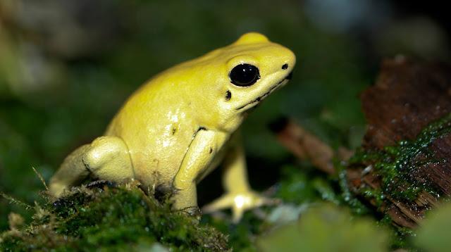 Zdjęcie liściołaza podobnego do żaby, który wydziela jedną z najmocniejszych trucizm znanych nauce.