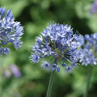 Allium caeruleum (A. azureum), cebolla ornamental con flores azules