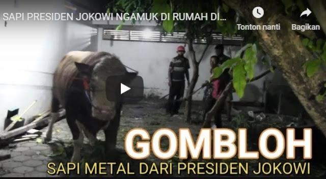 Si Gombloh Sapi Jokowi Ngamuk