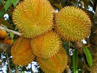 Inilah Cara Tepat Budidaya Buah Berduri, Alias Durian Montong
