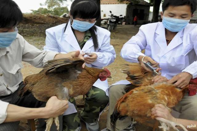الفلبين تفشى كبير لفيروس إنفلونزا الطيورH5N8