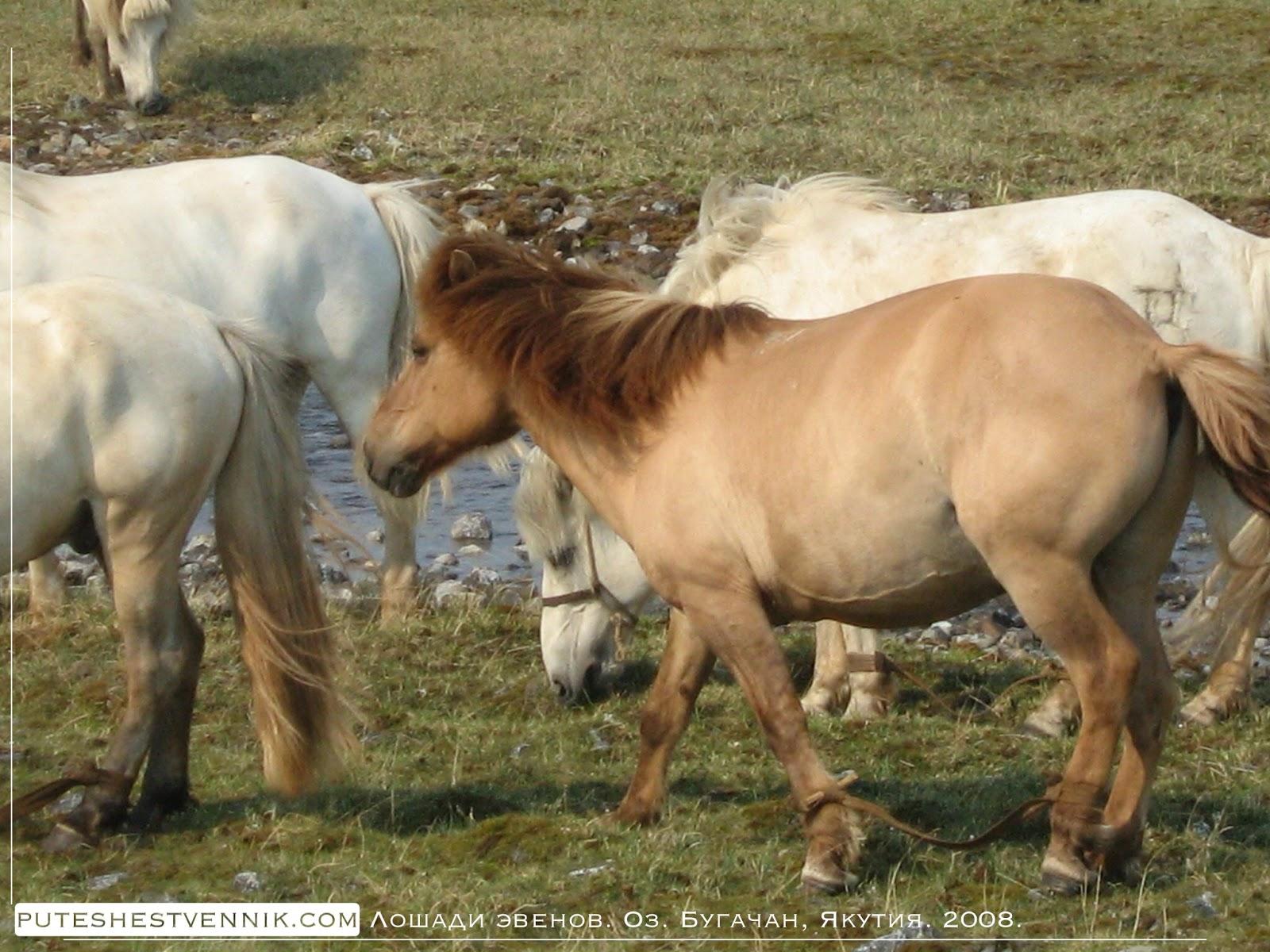 Лошади эвенов озера Бугачан