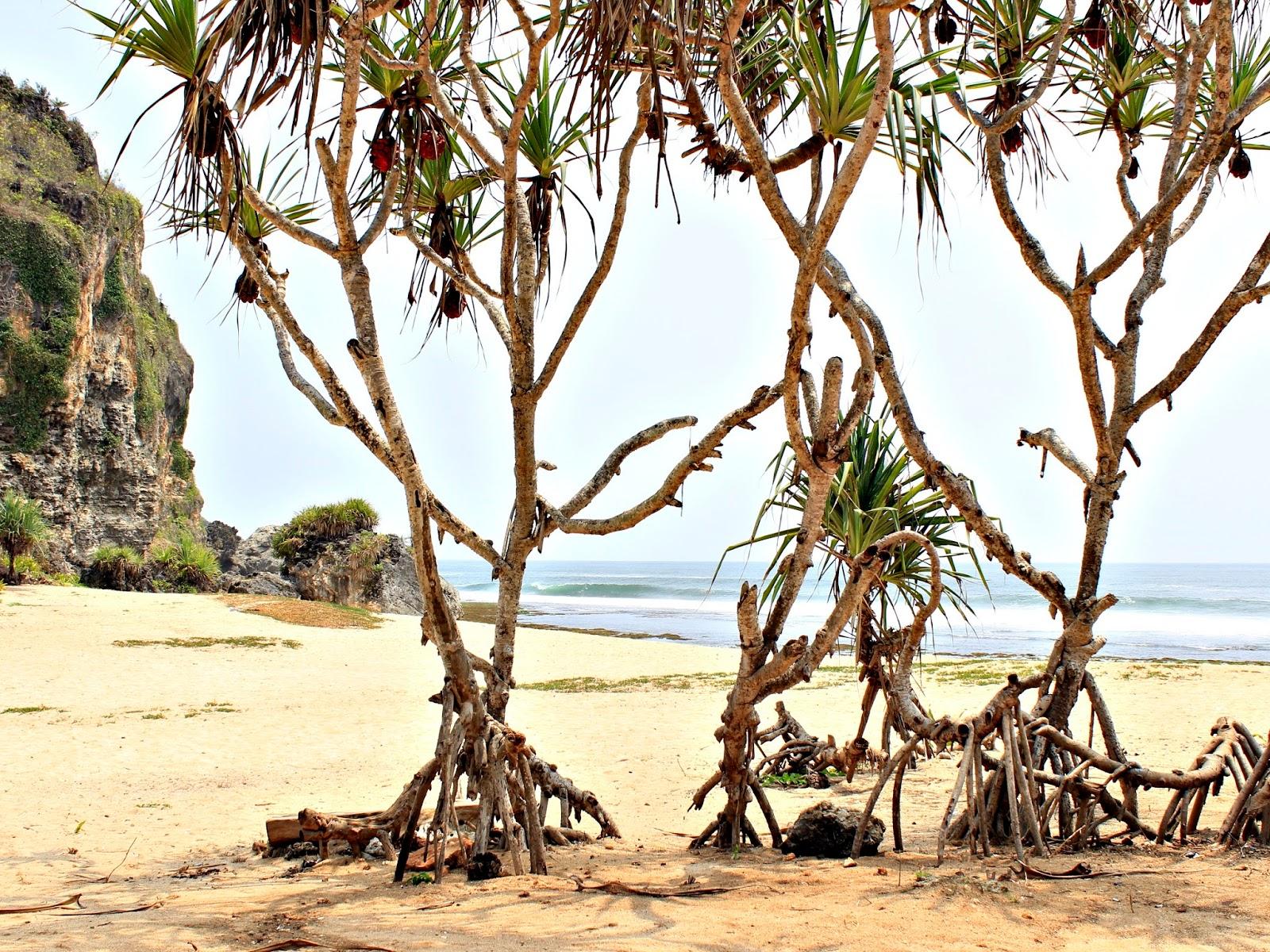pohon pandan lapangan voli pantai ngrumput yogyakarta