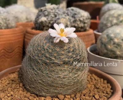 แมมเลนต้า Mammillaria lenta ราชินีของแมมมิลลาเรีย