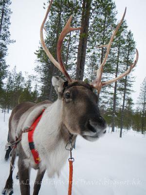 Saariselka kakslauttanen hotel reindeer, 薩利色爾卡馴鹿拉車