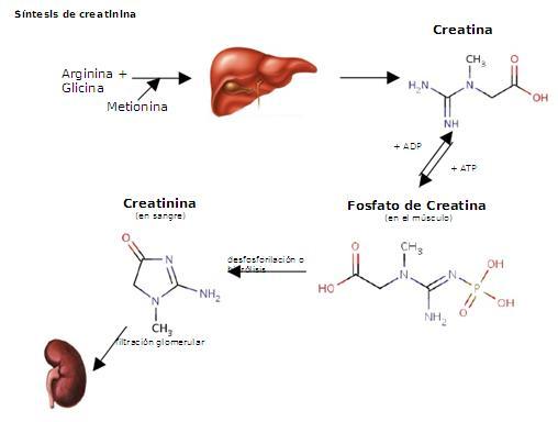 Procesar técnicas de valoración del metabolismo.: Creatinina
