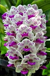 Gambar Bunga Anggrek Cantik 1