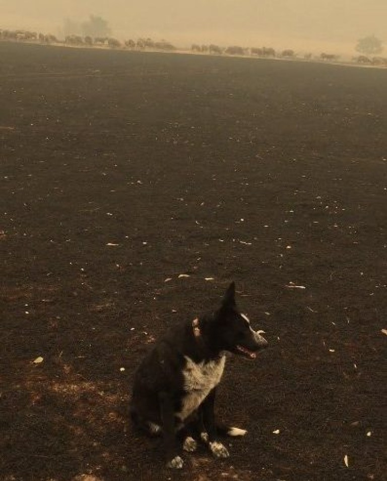 Dog Saves Flock Of Sheep From Australia's Raging Wildfire