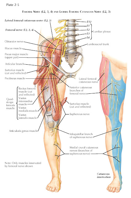 FEMORAL NERVE (L2, 3, 4) AND LATERAL FEMORAL CUTANEOUS NERVE (L2, 3)