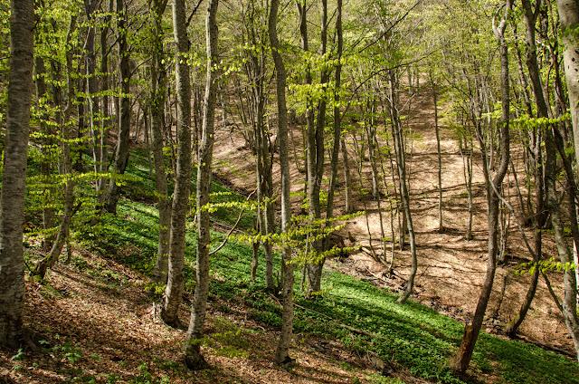 Wild - Bear Garlic - Neolica Hiking Trail, Bitola, Macedonia