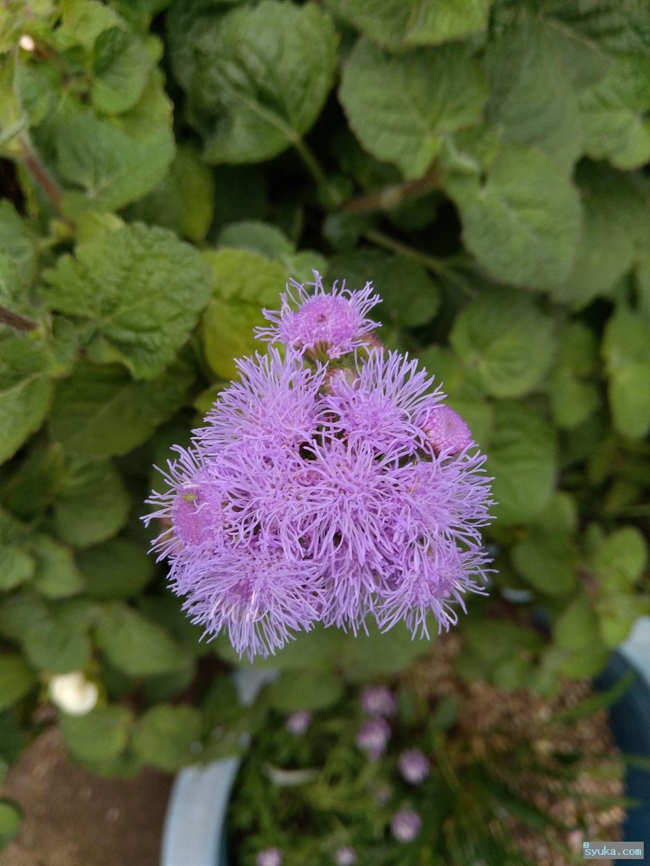 オオカッコウアザミの花
