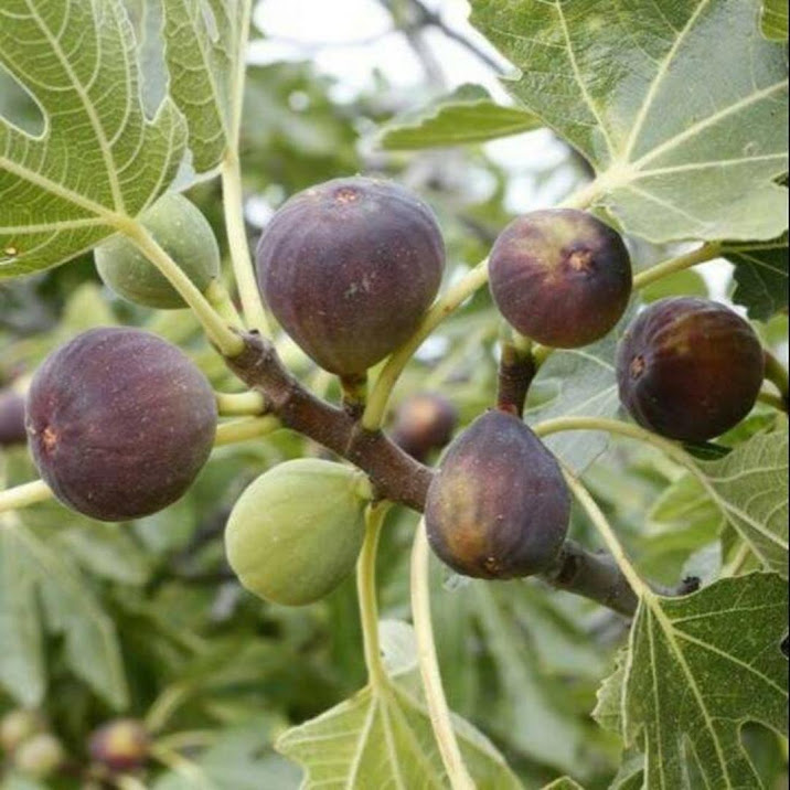 Bibit buah tin purple yordan hasil okulasi Jawa Barat