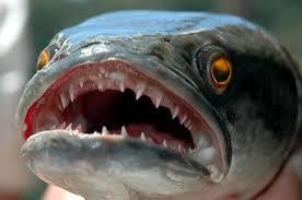 Membedakan Kelamin Jantan Dan Betina Ikan Gabus Kutuk Snakehead Griya Arka Kendal