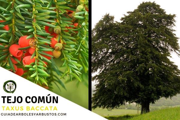El tejo común, Taxus baccata, es un árbol sagrado que puede llegar a medir hasta 15 o más metros de altura