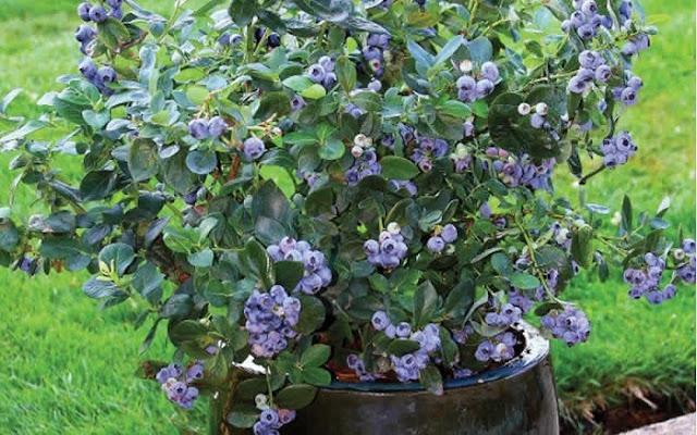 Southern Highbush Blueberry