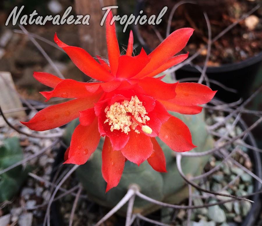 Detalles de la flor del cactus Matucana madisoniorum