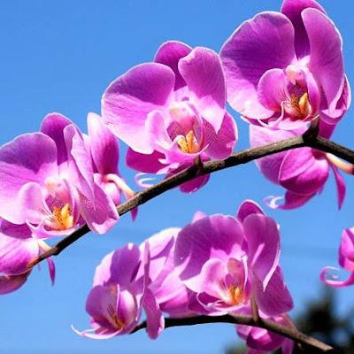 زهور الاوركيد - زهرة الأوركيد