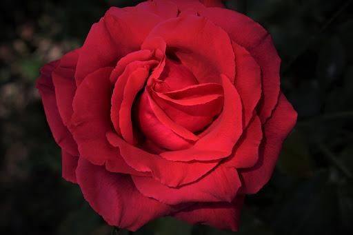 أحلى الورود ورق حائط 4