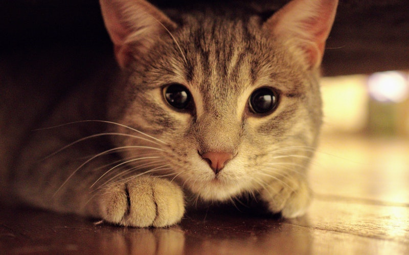 koci behawiorysta, kot lękliwy, behawiorysta kotów Płock, behawiorysta kotów Warszawa, kim jest behawiorysta