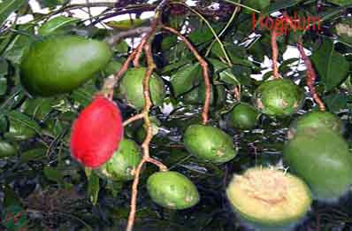 hog plum fruit; hog plum
