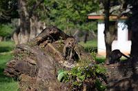 Affen ohne Ende - many many monkeys - Anuradapura Sri Lanka