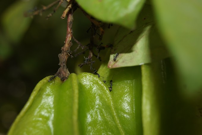 Semut dan buah belimbing muda