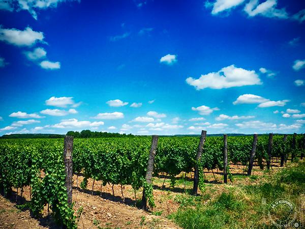 Mcc vinograd