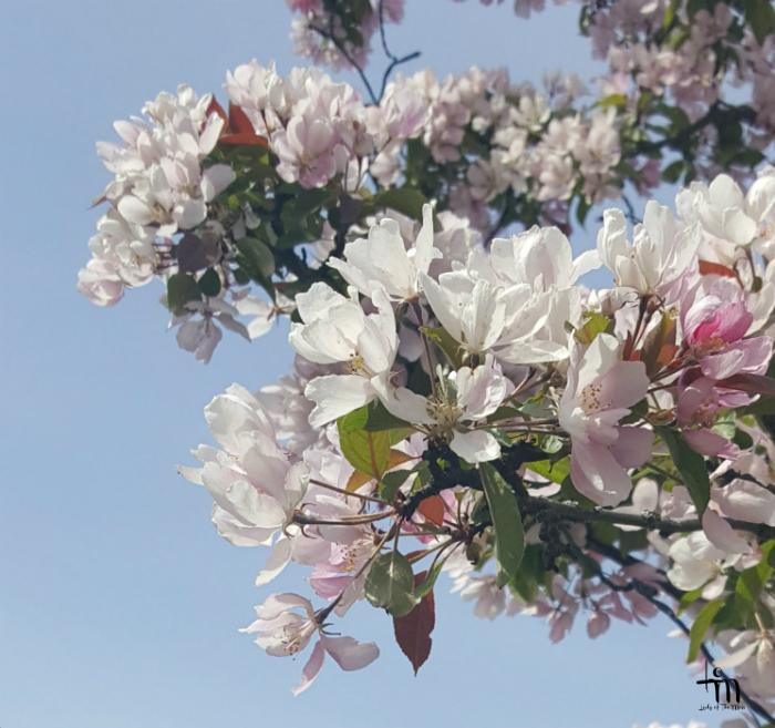 kirsikkapuu kukkii - www.ladyofthemess.fi
