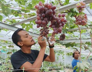 Kebun Anggur Srikandi Jatimulyo Tempatnya Jual Bibit Anggur di Lampung Berkualitas Oke Punya!