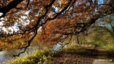 Autumnal Oak boughs by the river Ouse, near York