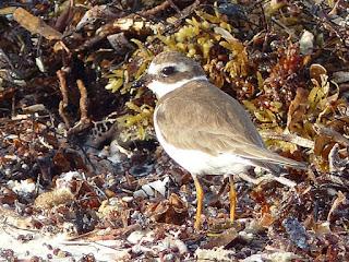 Charadrius - Gravelot de Cuba - Oiseaux de rivage - Oiseaux limicoles