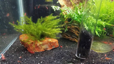 using siphon on black sand in red cherry shrimp tank