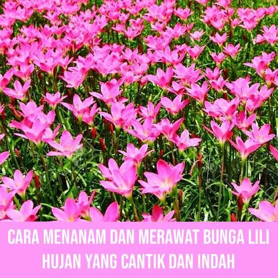 Cara Mudah Menanam Dan Merawat Bunga Lili Hujan Zephyranthes Yang Cantik Dan Indah