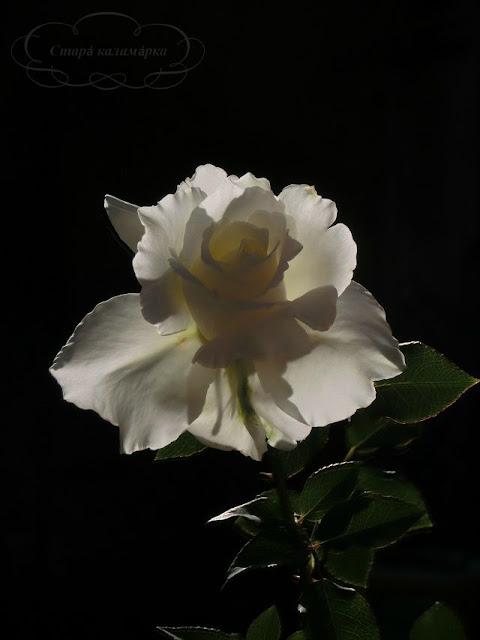 розы, розарии, сад и розы