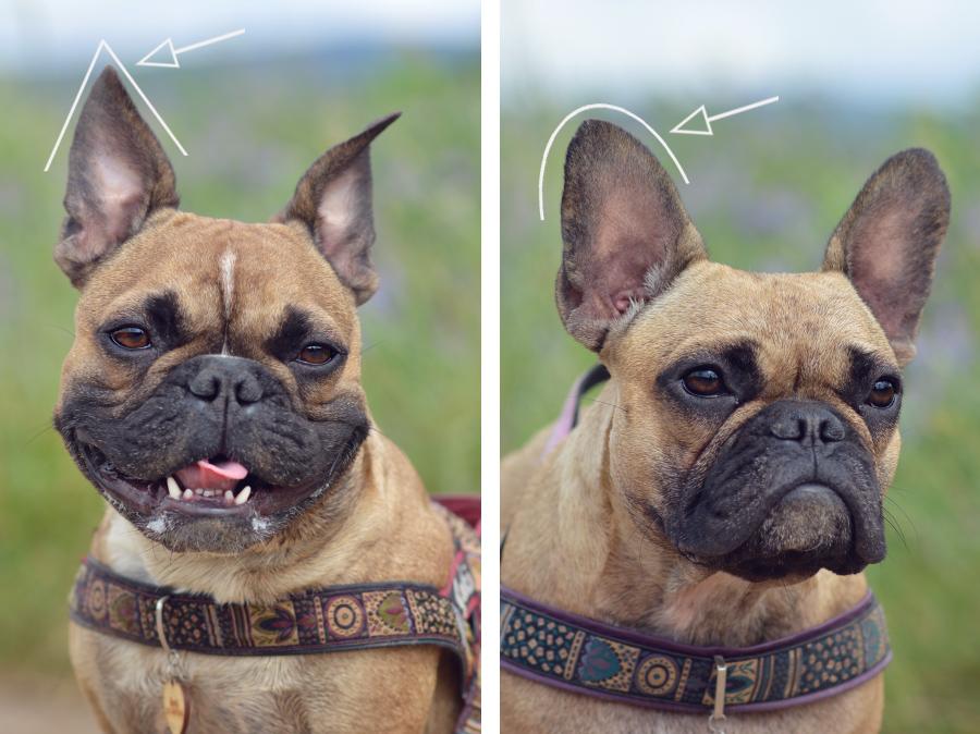 Hundeblog Französische Bulldogge Spitze Ohren runde Ohren