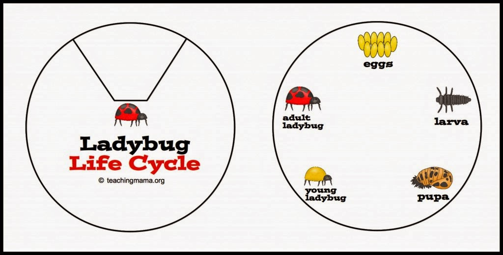 Ladybug life cycle printable get details at TeachingMama.org