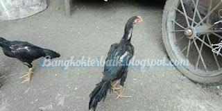 Penyebab utama ayam susah gemuk