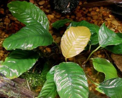 Cây thủy sinh ráy cafe phát triển tốt dưới nhiệt độ mát
